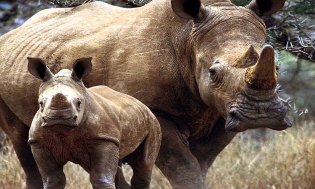 Sigfox connecte aussi les rhinocéros. Now Rhinos Speak